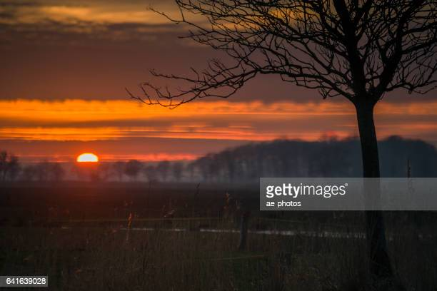 Sunset over pasture with back lit common reed and tree