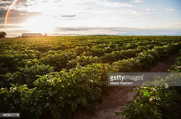 sunset over potato field, colorado, usa - rauwe aardappel stockfoto's en -beelden