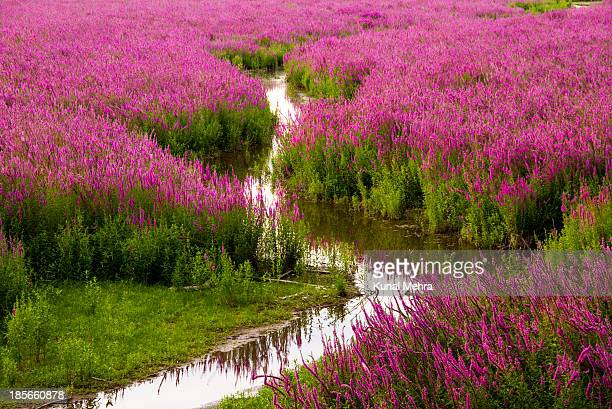 sunset over purple loosestrife - exotic_species stock pictures, royalty-free photos & images