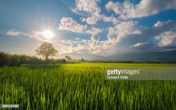 sunset over rice fields, chiangmai, thailand - paddy field stock pictures, royalty-free photos & images
