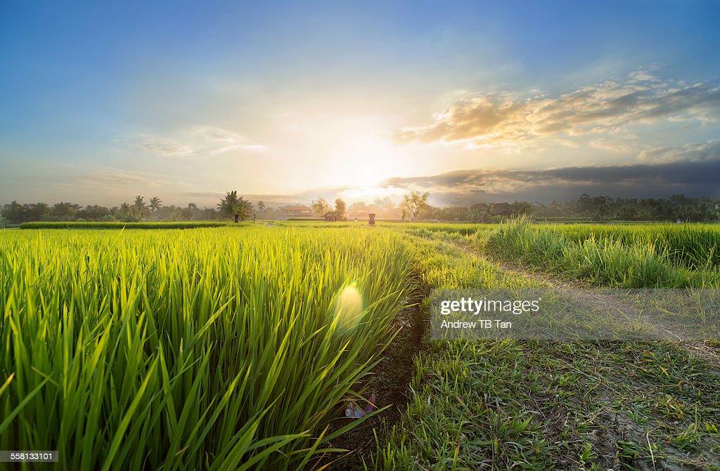 Sunset over rice fields of Bali : Stock Photo