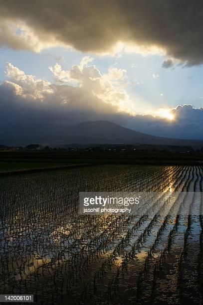 Sunset over rice fields