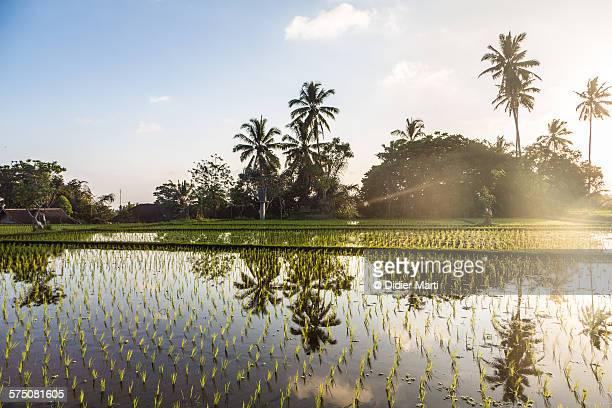 Sunset over rice paddies in Ubud in Bali