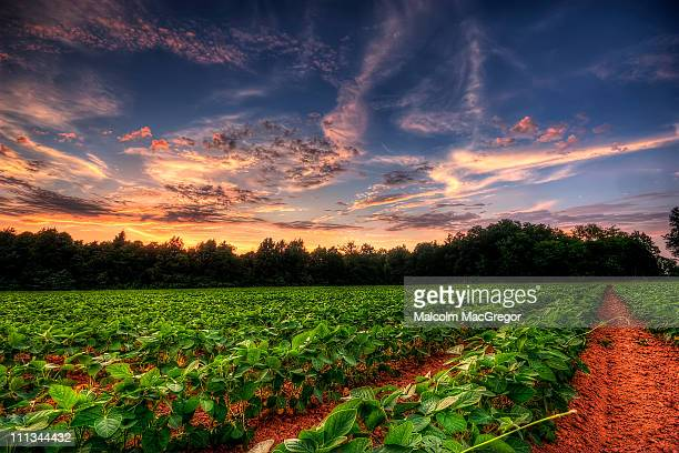 Sunset over Soybean Field