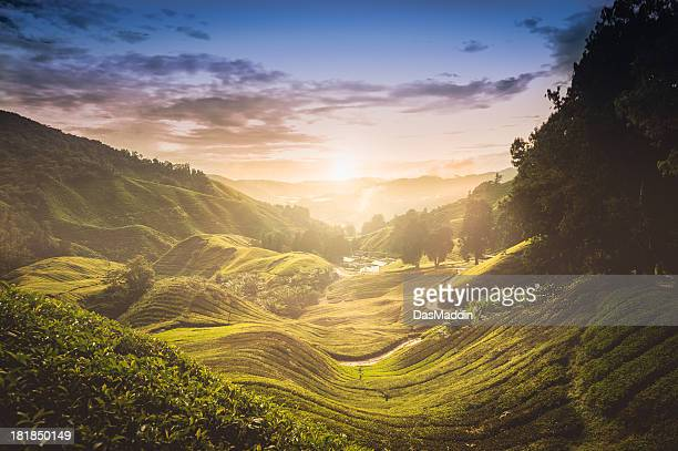 sunset over tea plantation in malaysia - tea leaves stock photos and pictures