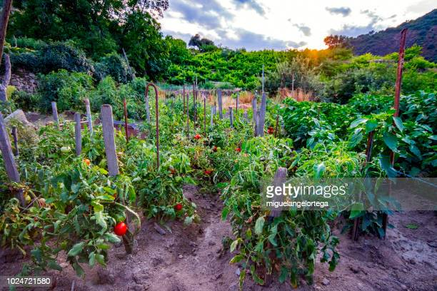 sunset over the orchard - vegetable garden stock pictures, royalty-free photos & images