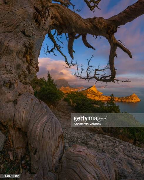 Sunset over the sea. In the foreground is an old bent tree. 'Noviy Svet' wildlife preserve, Crimea