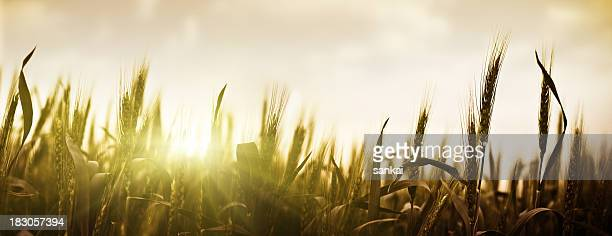 Sunset over wheat