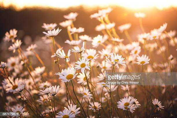sunset oxeye daisies - daisy stock pictures, royalty-free photos & images