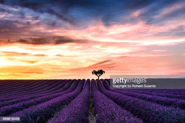 A sunset photo of a blooming lavender field in the Valensole Plateau