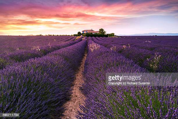 A sunset photo of a farm house in the middle of a lavender field in the Valensole Plateau