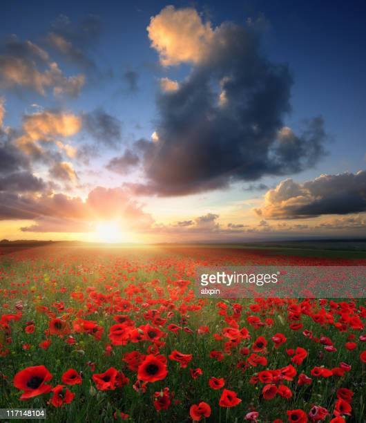 sunset - poppy stock pictures, royalty-free photos & images
