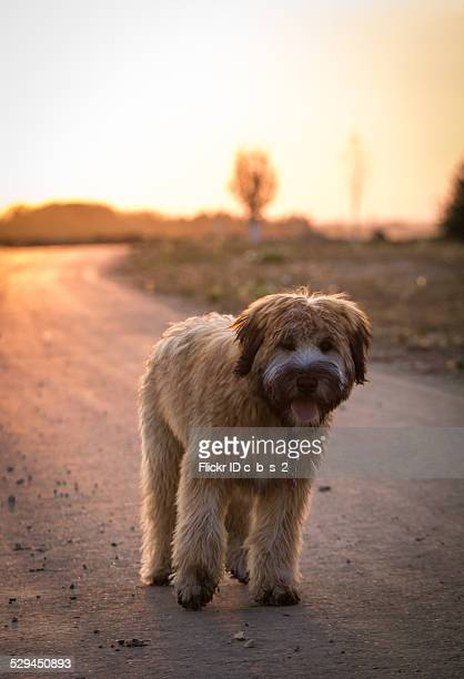 sunset - soft coated wheaten terrier stock photos and pictures