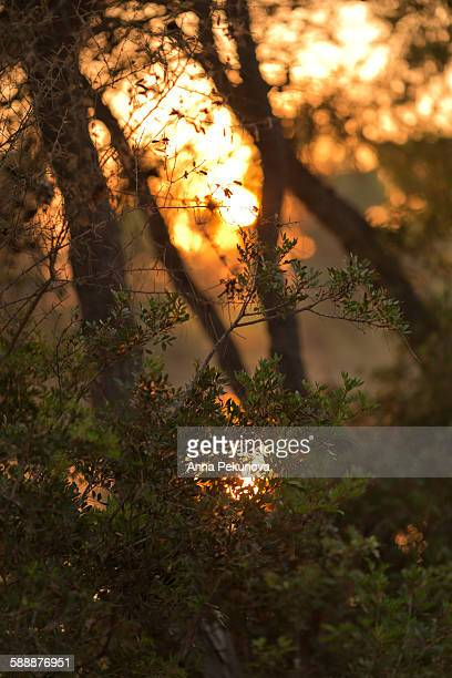 Sunset seen through tree branches