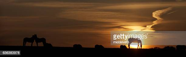 sunset setting in the country - grazing stock pictures, royalty-free photos & images