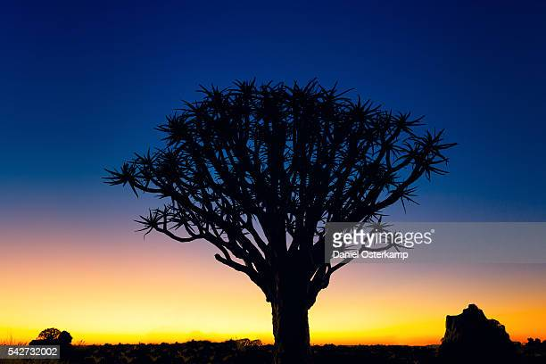 Sunset Silhouette of a Quiver Tree at Giants Playground in Keetsmanshoop, Namibia, Afrika