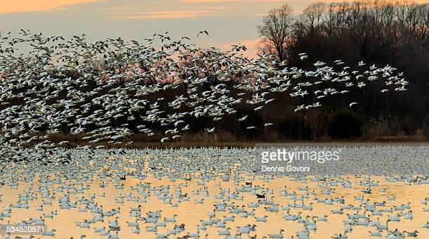 Sunset Snow Geese Blast-off
