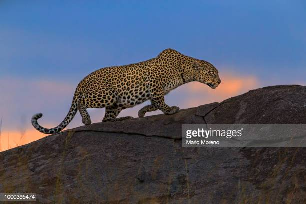 sunset stalking cat - leopard stock pictures, royalty-free photos & images