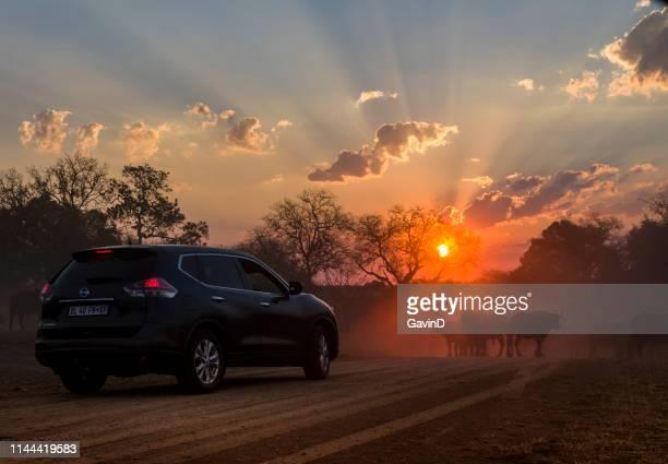 sunset sunrise kruger national park sightseeing safari buffalo herd - kruger national park stock pictures, royalty-free photos & images