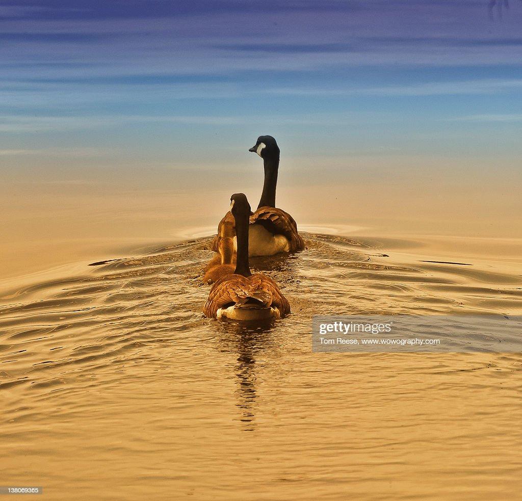 Sunset swim : Stock-Foto