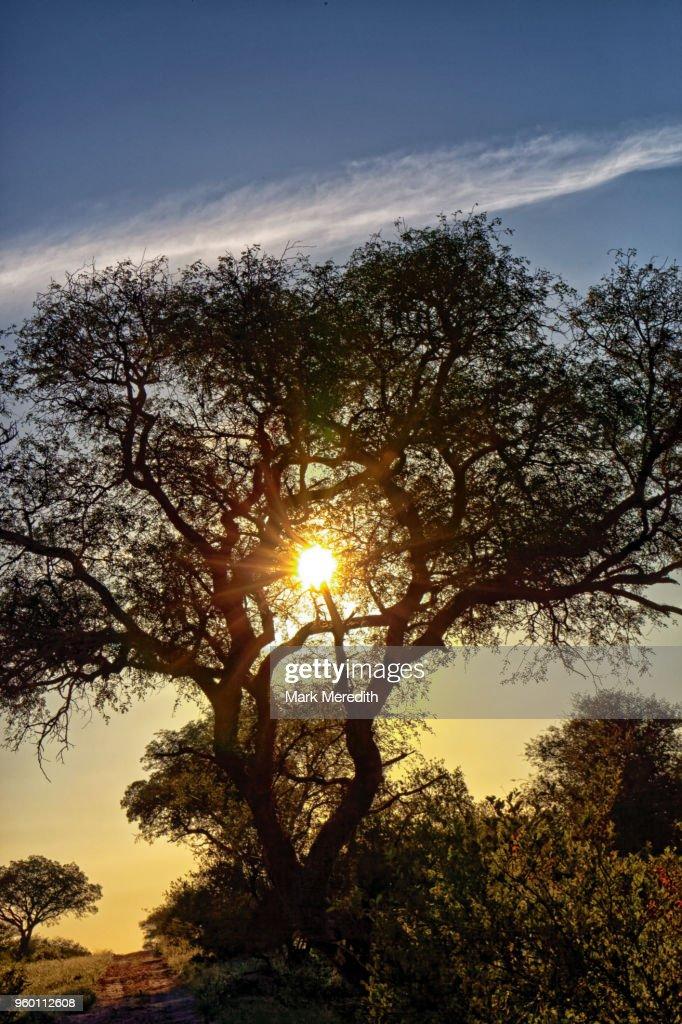 Sunset through a tree in Klaserie Reserve, Greater Kruger National Park : Stock-Foto