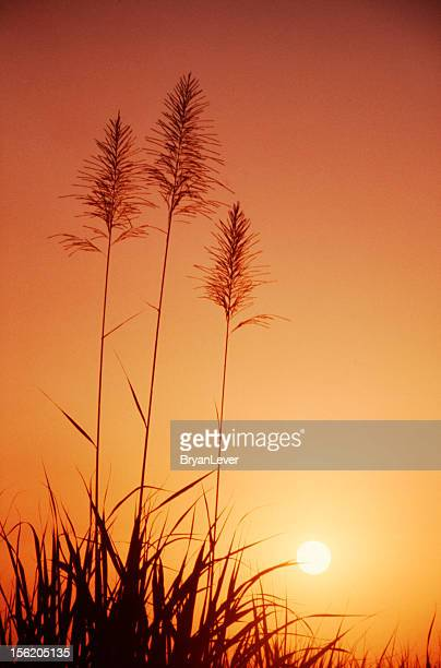 Sunset through the sugar cane field