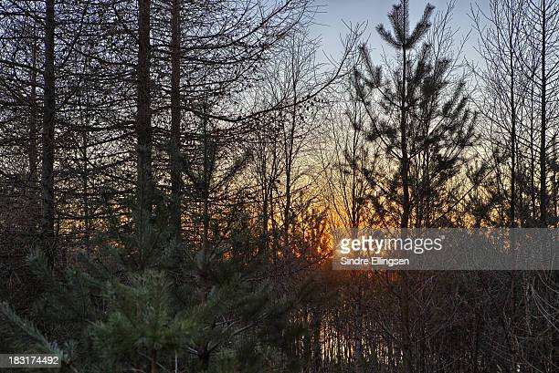 Sunset trough bare forest