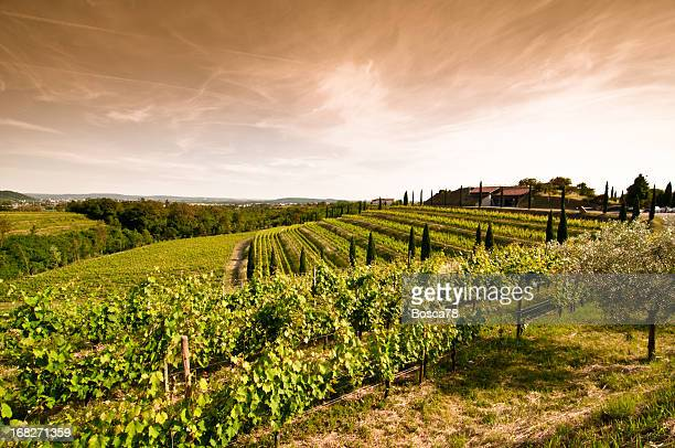 A sunset view of a vineyard in North Italy