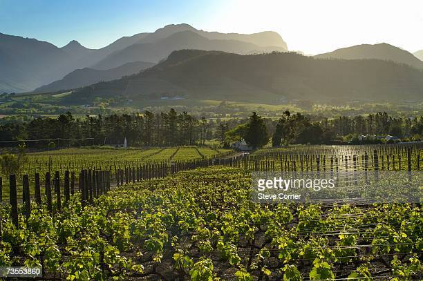 Sunset View Over Vineyard
