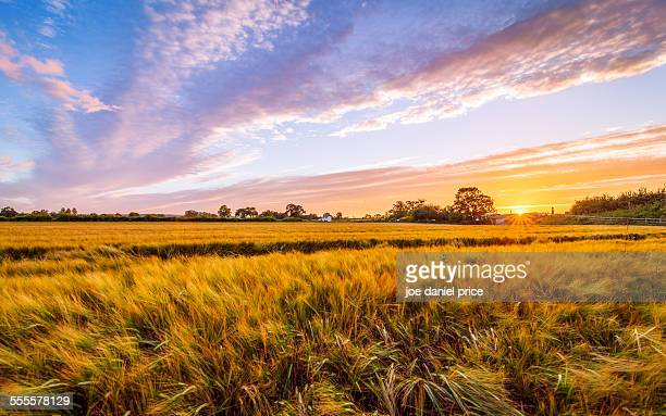 Sunset, wheat field, Hereford, England