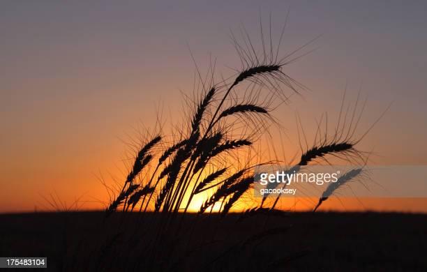 夕暮れの小麦