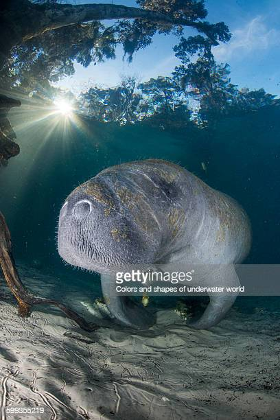 Sunset with Manatee inside the Crystal River