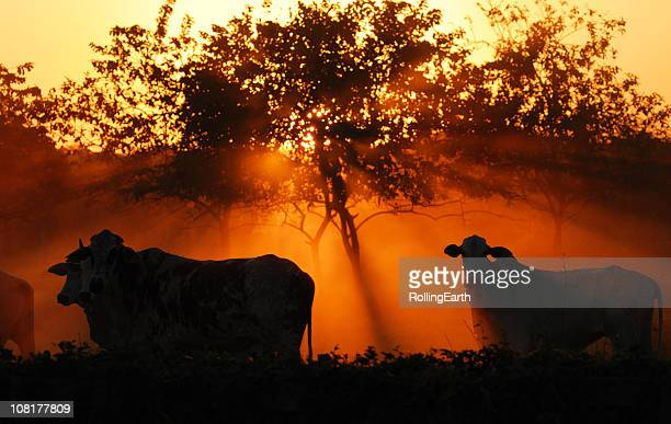 sunset with trees and cattle in field - ranch stock pictures, royalty-free photos & images