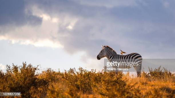 sunset's friends. - ngorongoro conservation area stock pictures, royalty-free photos & images