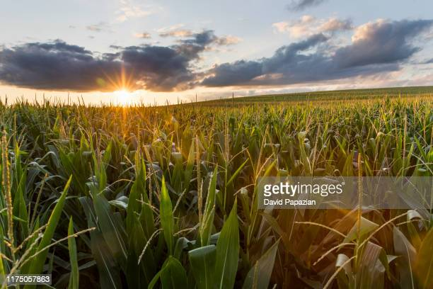 sunsets over the cornfields - agriculture stock pictures, royalty-free photos & images