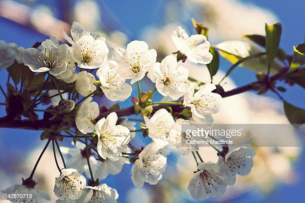 sunshine and cherry blossoms - catherine macbride stock pictures, royalty-free photos & images