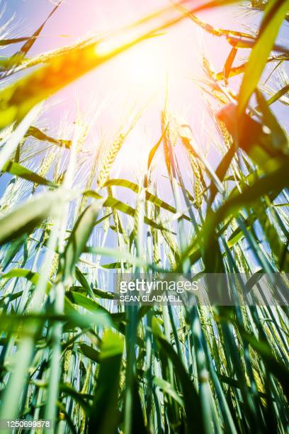 sunshine and wheat - rye grain stock pictures, royalty-free photos & images