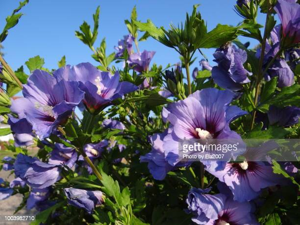 Sunshine, blue sky and blue mallows