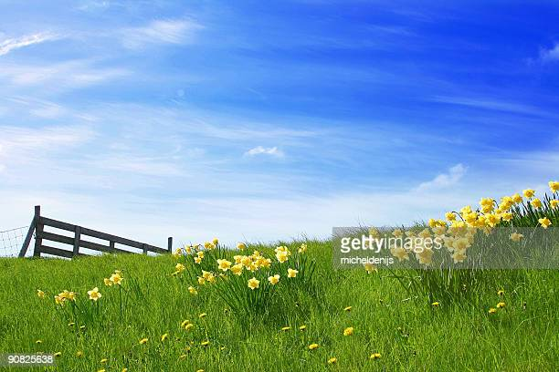 sunshine landscape - daffodils stock photos and pictures