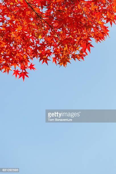 Sunshine on Japanese Maple/Acer leaves