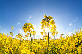 sunshine on yellow rapeseed oil flower field