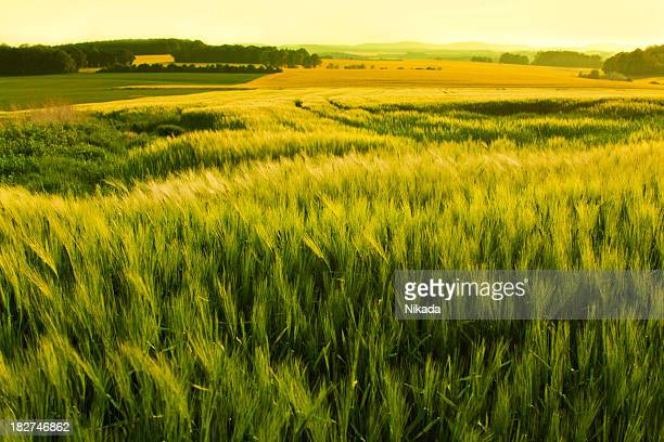 sunshine over a wheat field