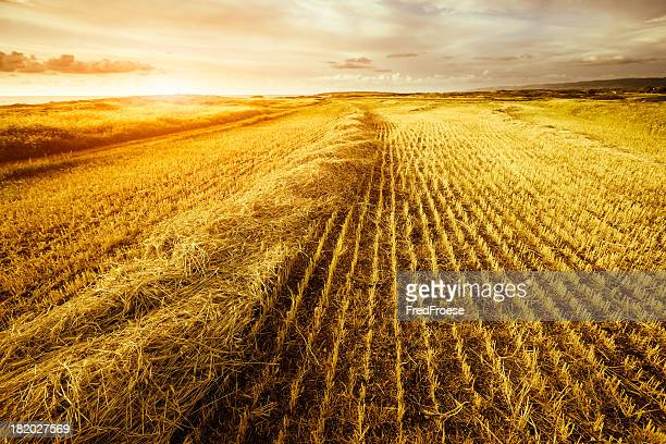 sunshine over stubble field - stubble stock pictures, royalty-free photos & images