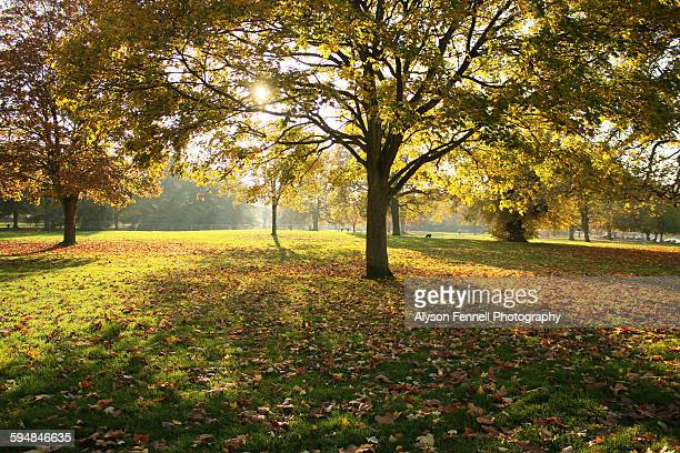 sunshine through autumn maple tree - alyson fennell stock pictures, royalty-free photos & images