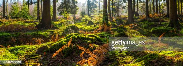 sunshine warming green mossy forest clearing misty woodland wilderness panorama - idyllic stock pictures, royalty-free photos & images