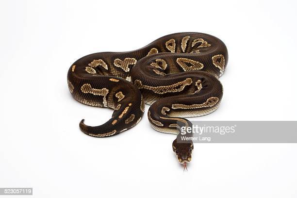 Super Black Head Ball Python or Royal Python -Python regius-