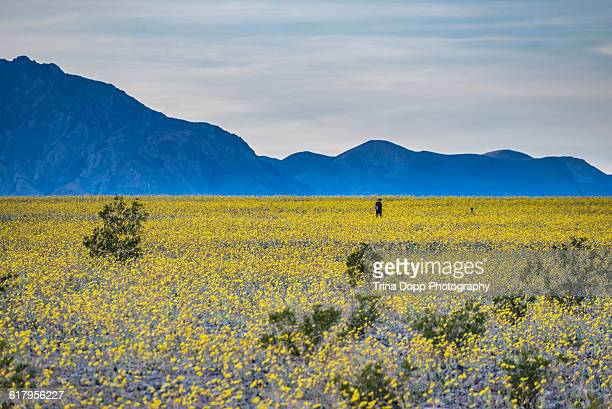 Super Bloom in Death Valley