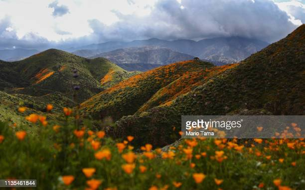 A 'super bloom' of wild poppies blankets the hills of Walker Canyon as still charred hills from the Holy Fire stand in the background on March 12...