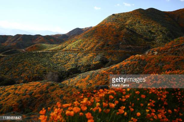Super bloom' of wild poppies blankets the hills of Walker Canyon on March 12, 2019 near Lake Elsinore, California. Heavier than normal winter rains...
