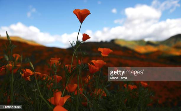 A 'super bloom' of wild poppies blankets the hills of Walker Canyon on March 12 2019 near Lake Elsinore California Heavier than normal winter rains...